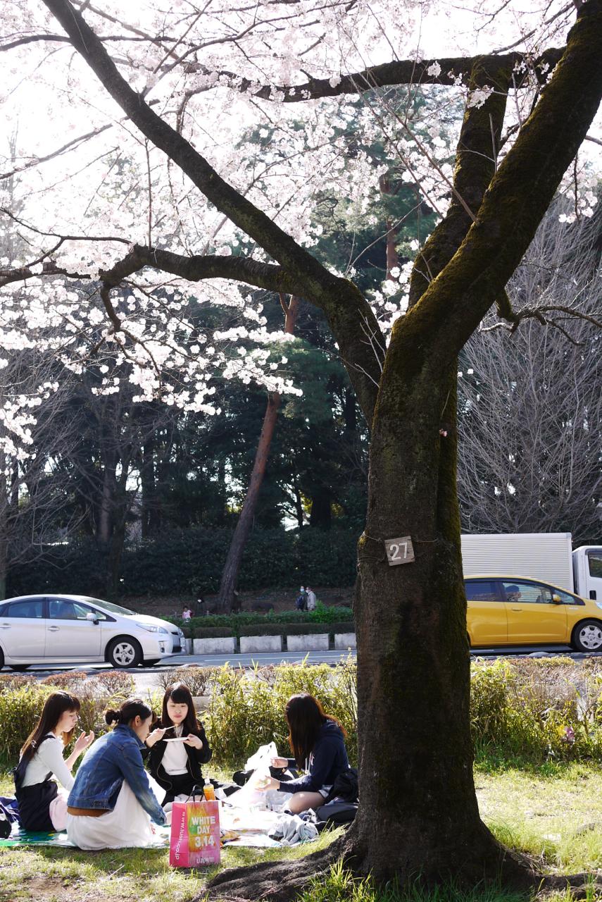 国立駅前・大学通りの桜