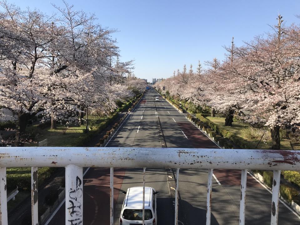 国立市の大学通りの桜並木