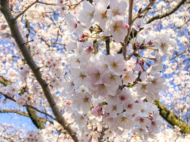 国立市の桜