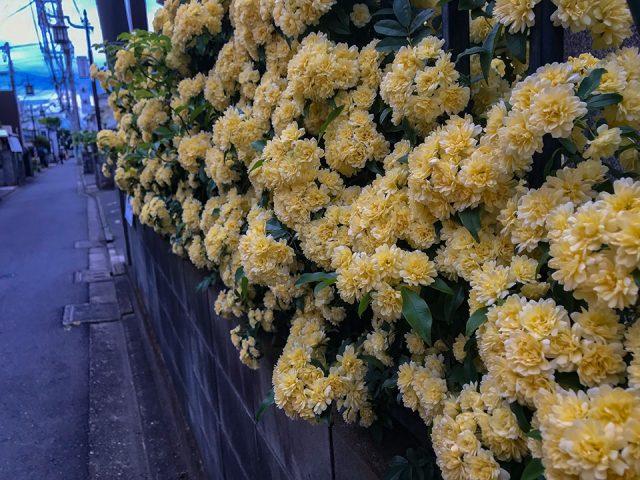 国立市の路地で撮った花