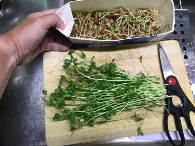 牛乳パックで栽培した豆苗スプラウト