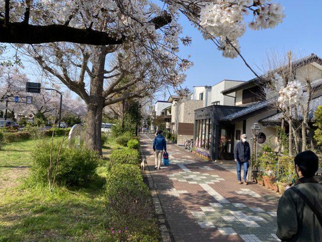 桜がきれいな国立市の大学通り