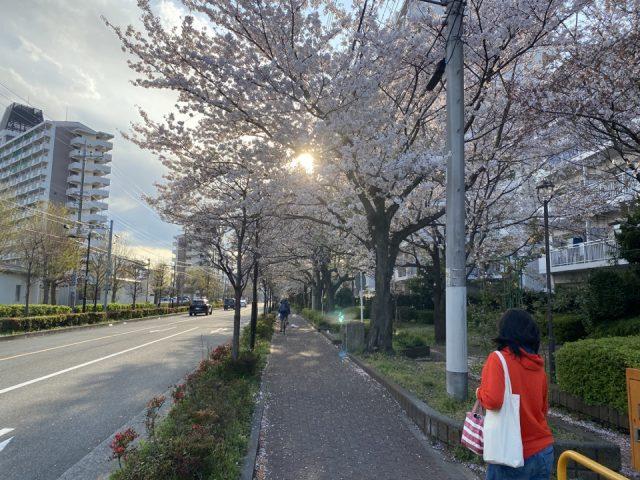 国立市北の桜