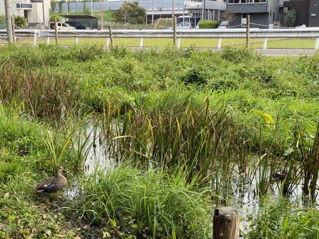 ママ下湧水公園の鴨
