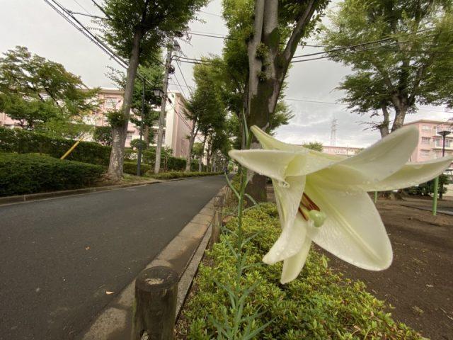 富士見台第一団地の百合の花
